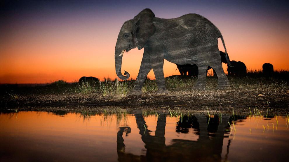 Слон у воды.