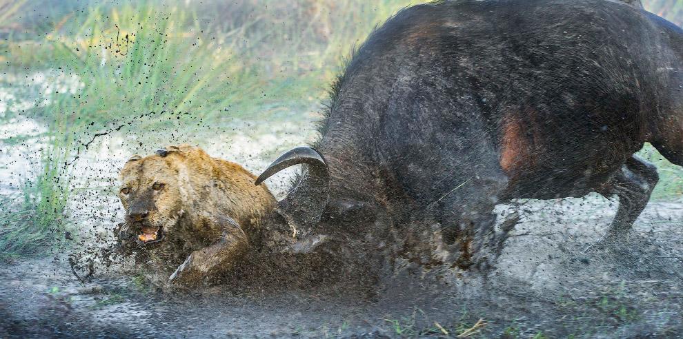 Редкий кадр, как бык дает отпор хищной кошке