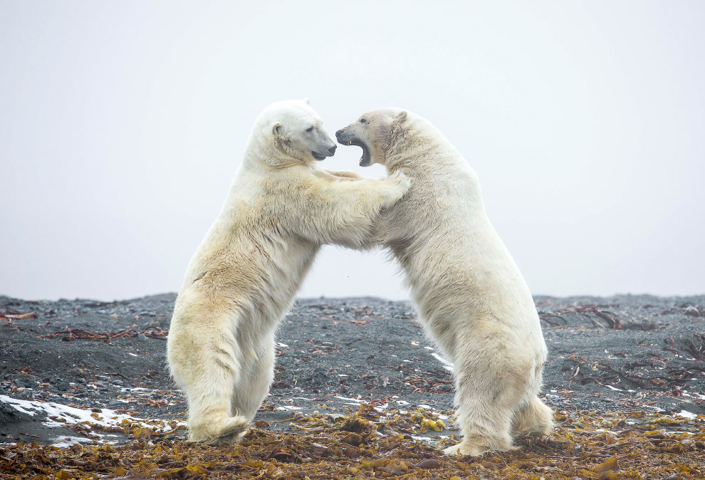 Бобра белых медведей