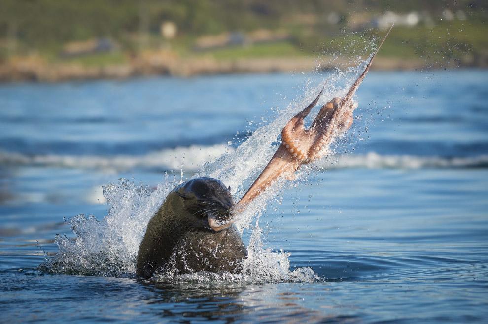 Тюлень и осьминог