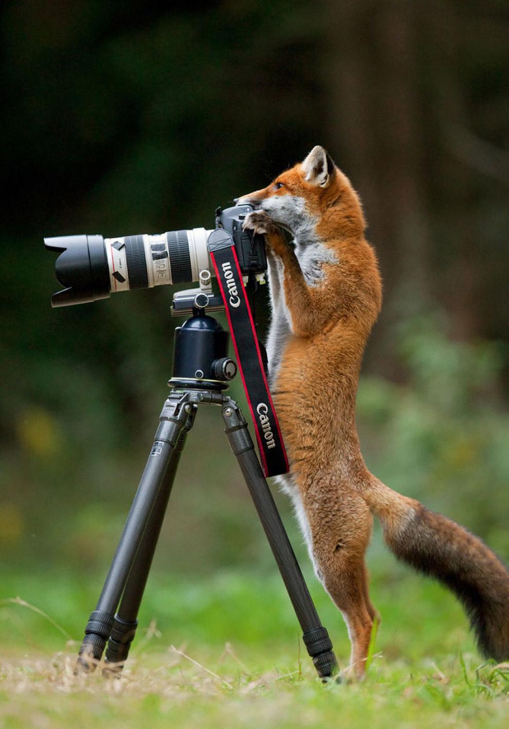 Лиса-фотограф