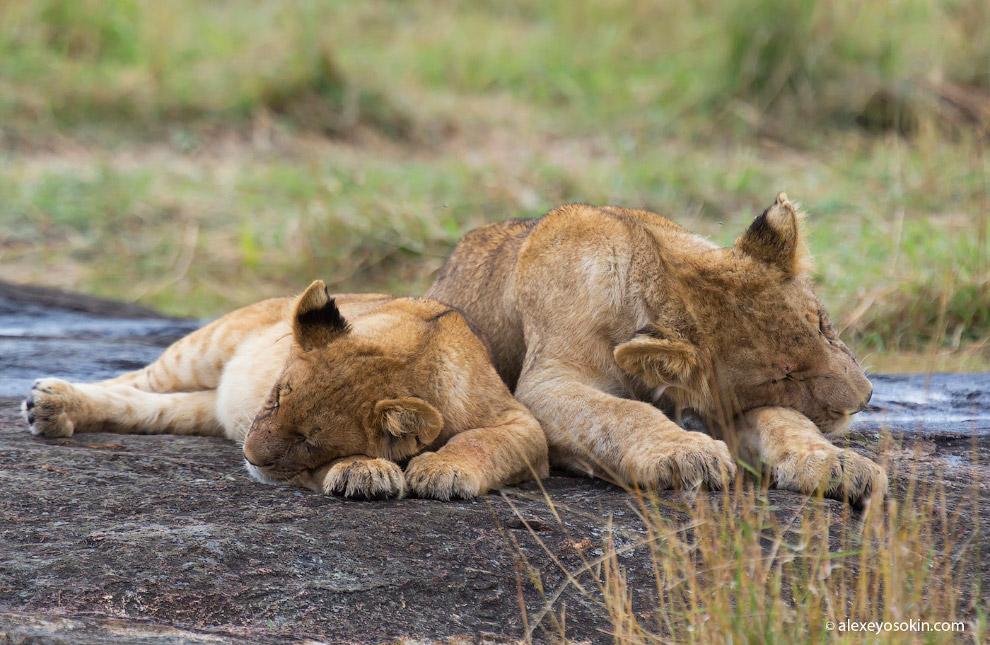 День львов