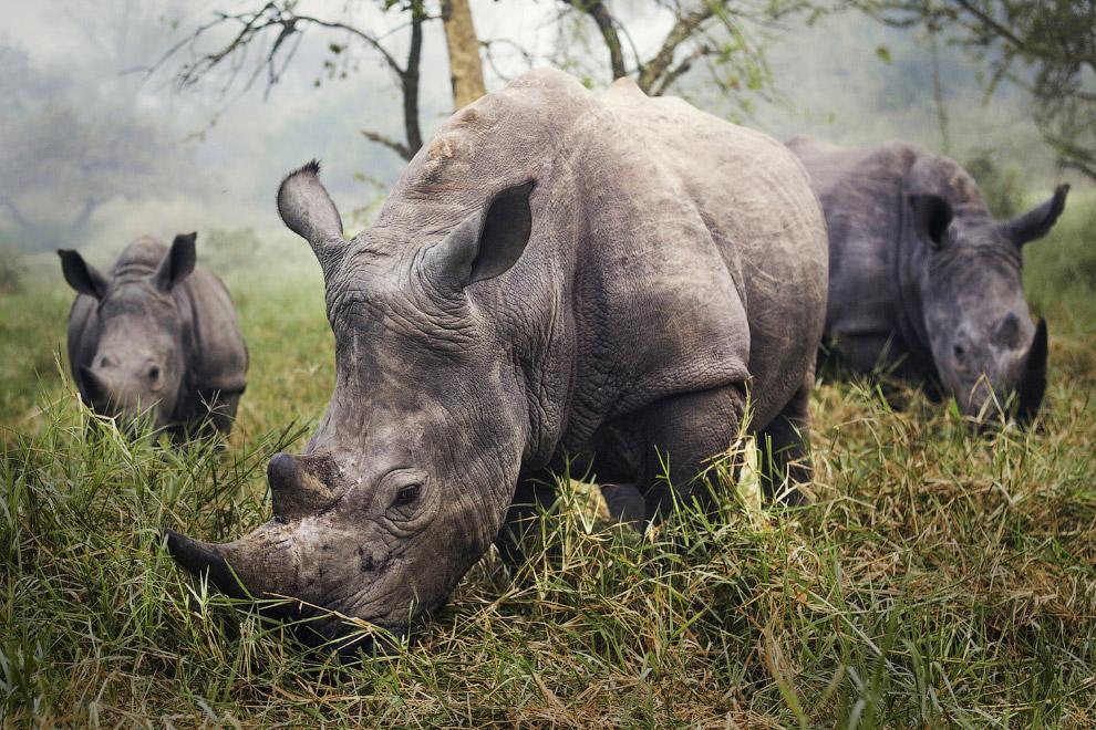 Пасущиеся редкие белые носороги