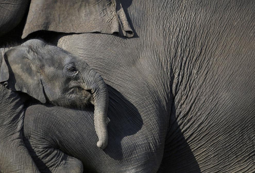 Слоненок с мамой, Катманду