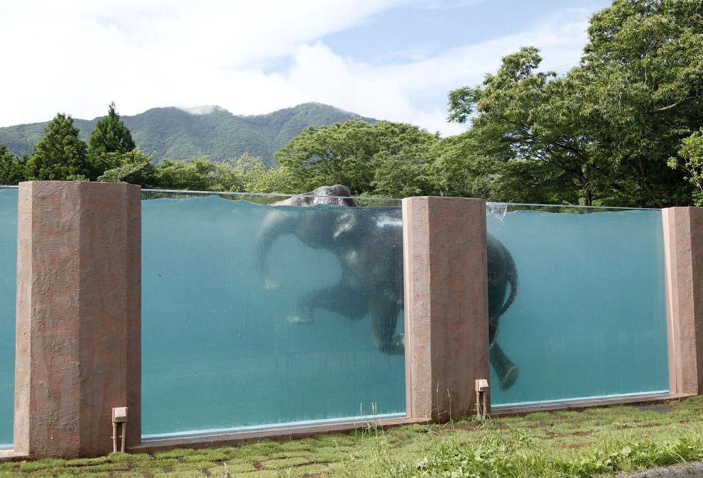 Азиатский слон плавает бассейне в сафари-парке у подножия горы Фудзияма