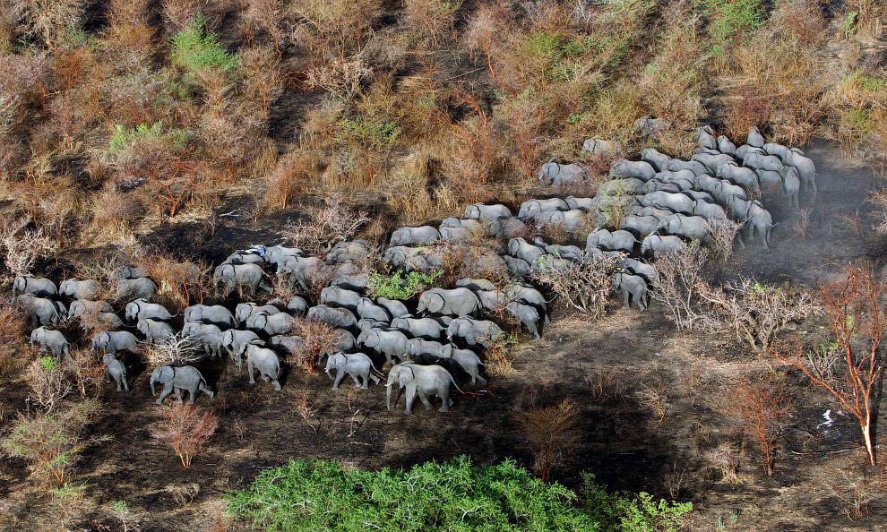 Стадо слонов в Национальном парке Закума
