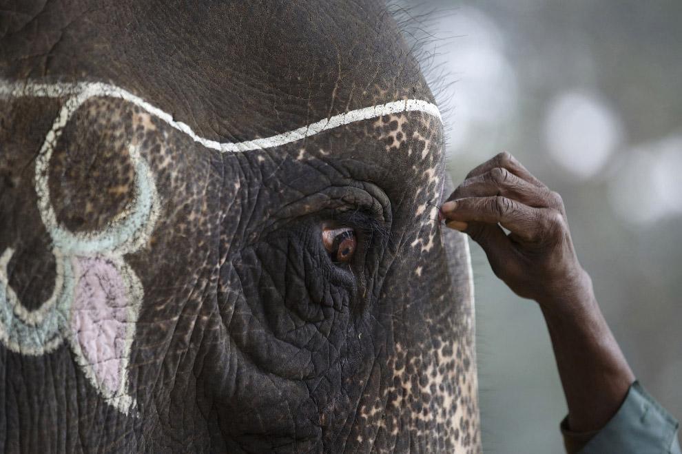 Погонщик украшает своего слона, Непал