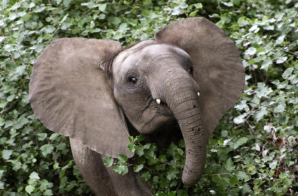 Добродушный слоненок Чима