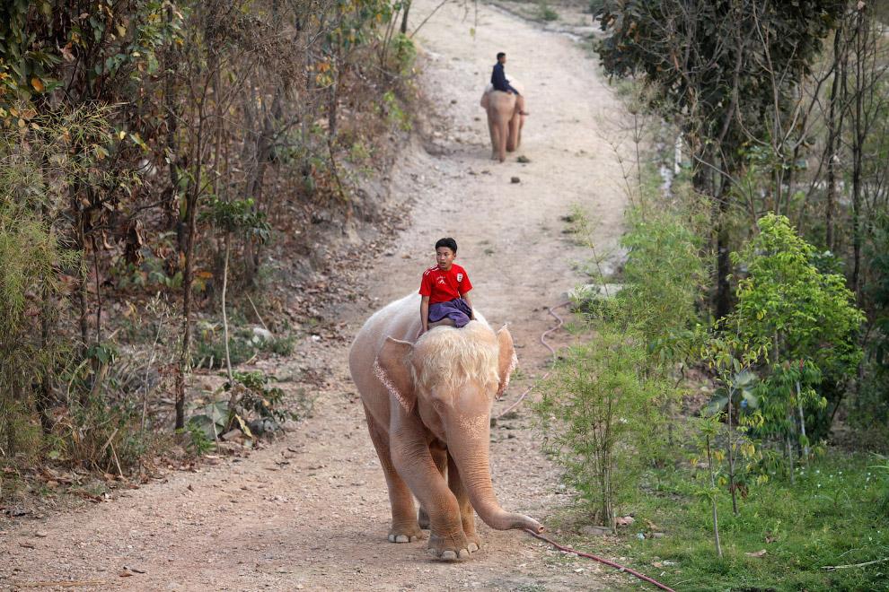 Белоснежные слоны из Бирмы