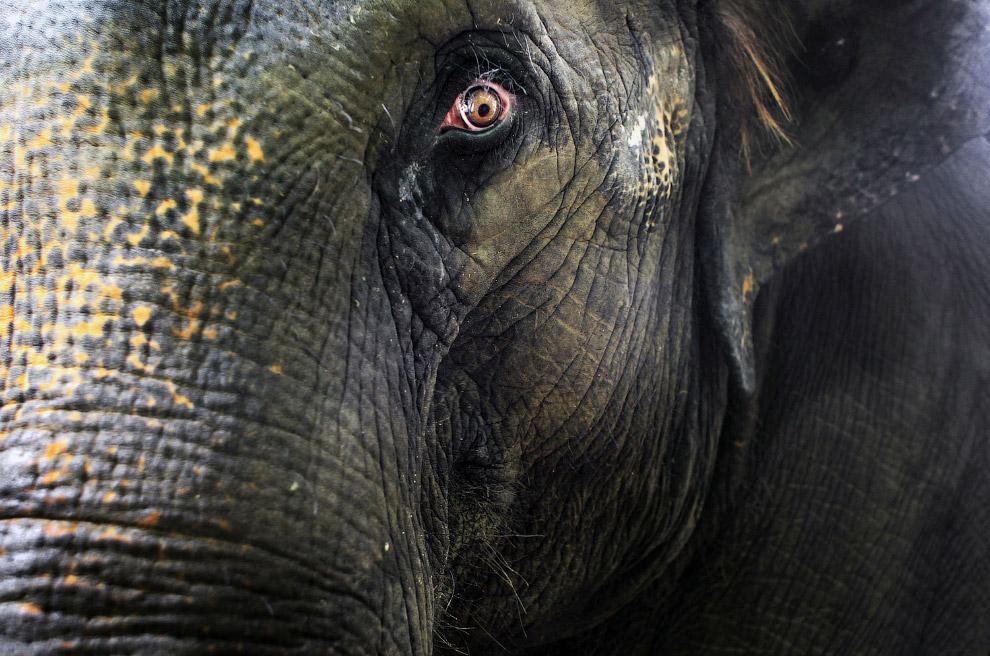 25-летняя слониха в Сингапурском зоопарке