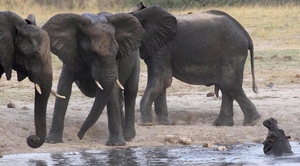 Стадо слонов ругается с бегемотами на водопое в национальном парке в Зимбабве