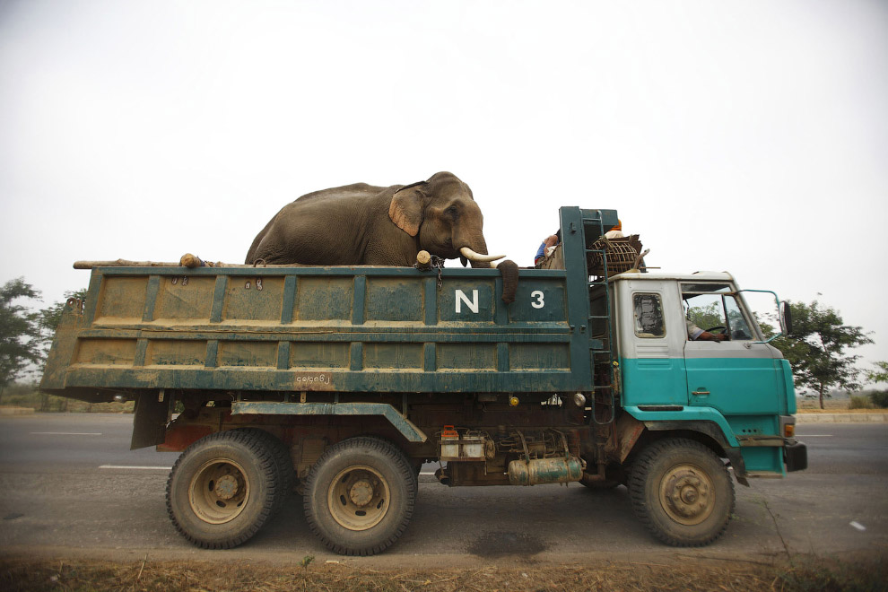 Везут слона на грузовике