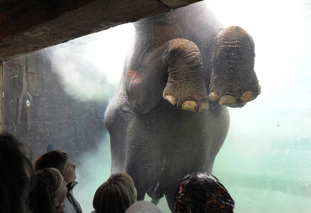 Слон купается в бассейне в зоопарке в Лейпциге, Германия, 16 сентября 2008