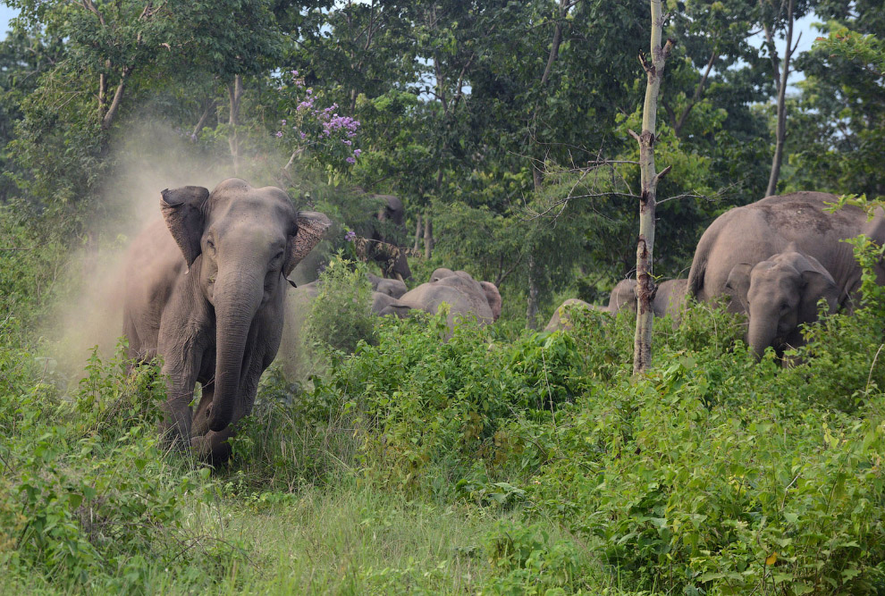Местные жители в Индии пытались отпугнуть с территории стадо диких слонов, и вот один их них вышел из себя