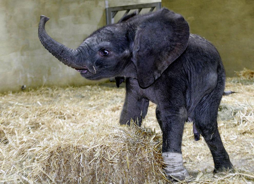 Слоненку наложили повязку на лапу, чтобы он не поранился во время игр