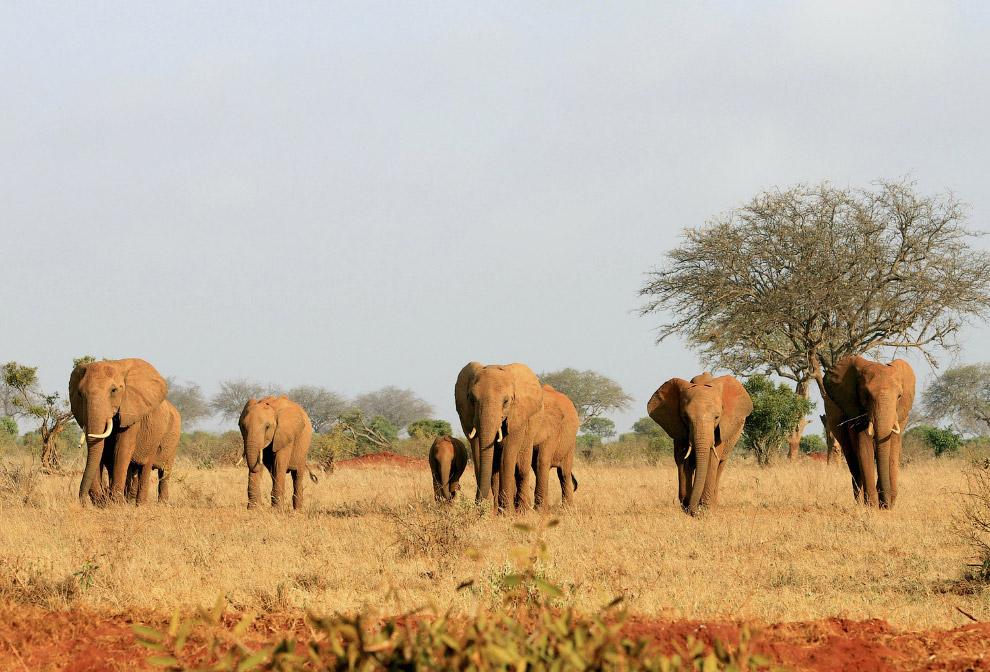 Стадо слонов в Национальном парке Тсаво Ист в Кении