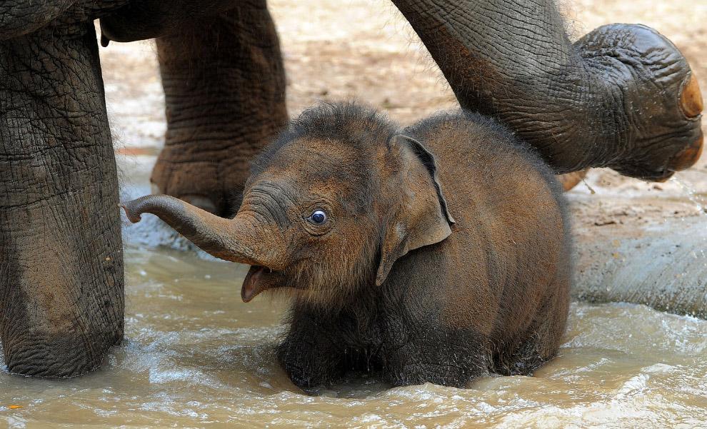 Видно каждый волосок. Слоненок в зоопарке Мельбурна