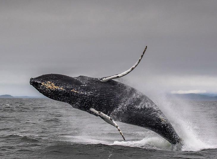 Игривый горбатый кит на Аляске