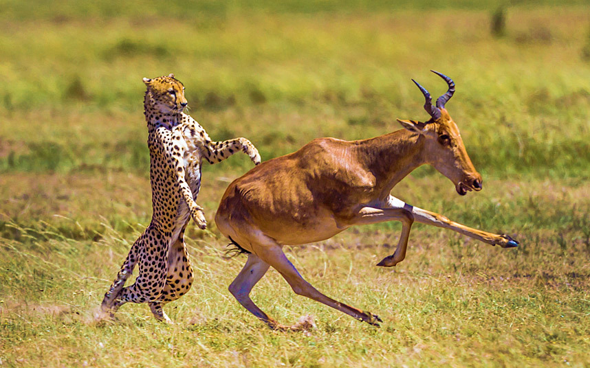 Антилопа пытается убежать от гепарда