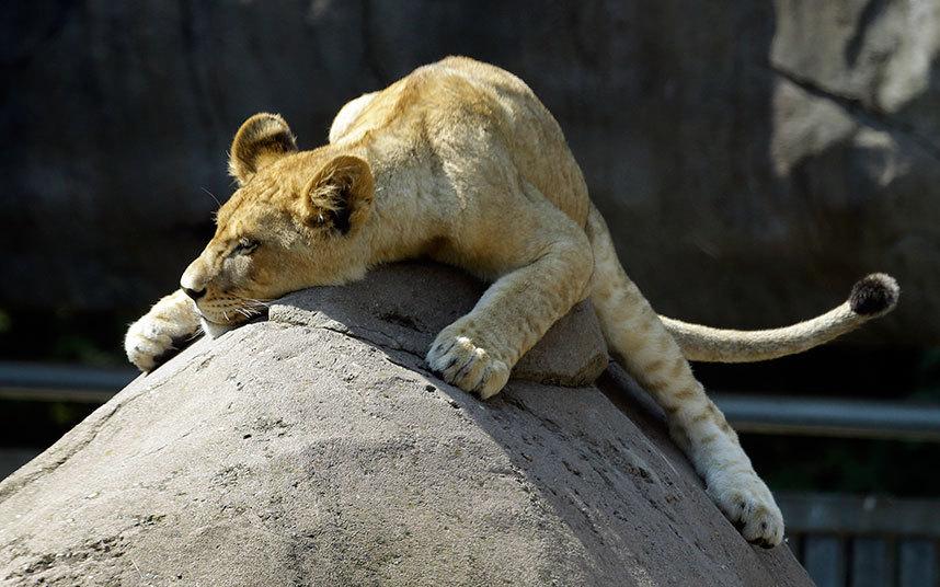 Львенок греется на камне в зоопарке в Портленде