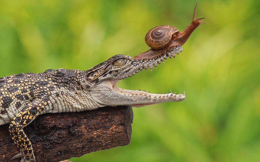 Любознательная улитка залезла на крокодила