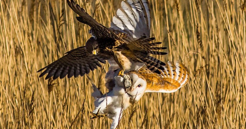 Пустельга из отряда соколообразных и сипуха воюют за обед в виде полевки