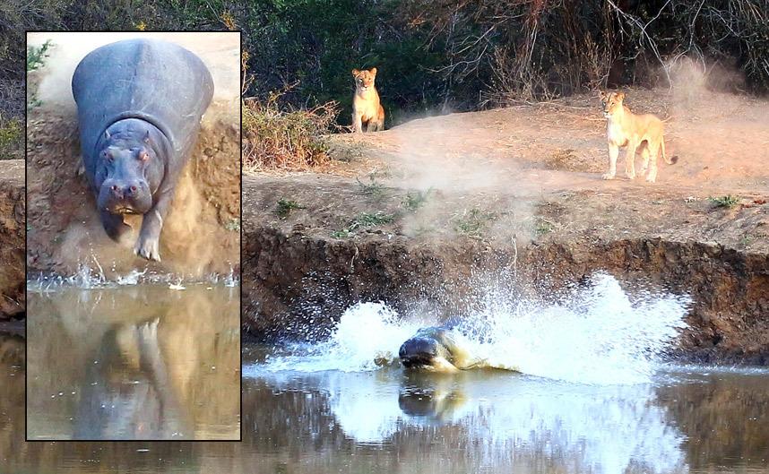 Львы прогнали бегемота в Южной Африке