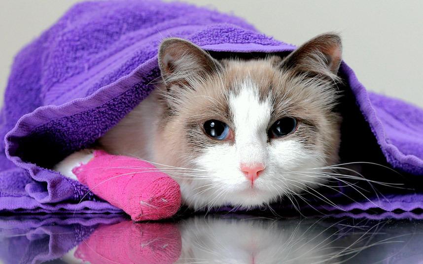 Кот с пораненной лапой в больнице в Мельбурне