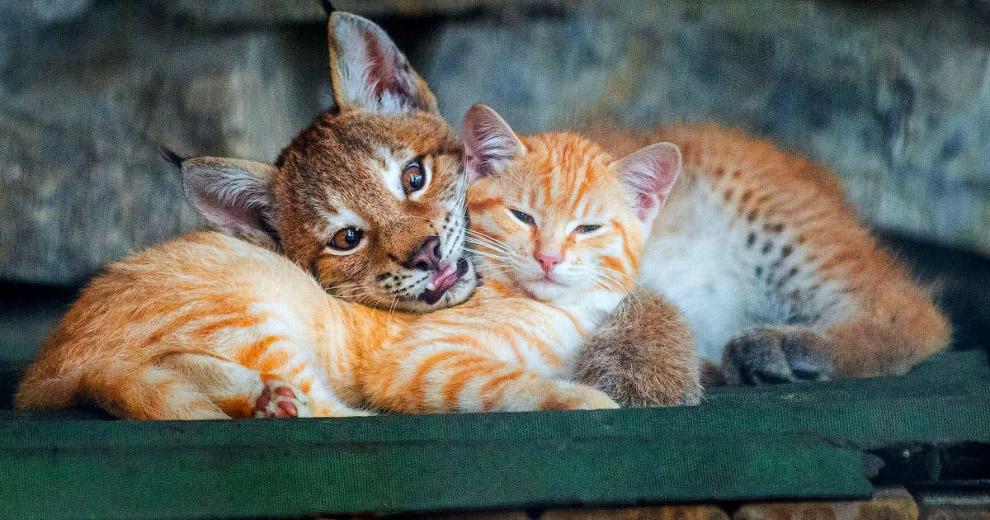 В Новосибирском зоопарке кошка стала приёмной матерью для маленького рысенка, который намного больше нее самой