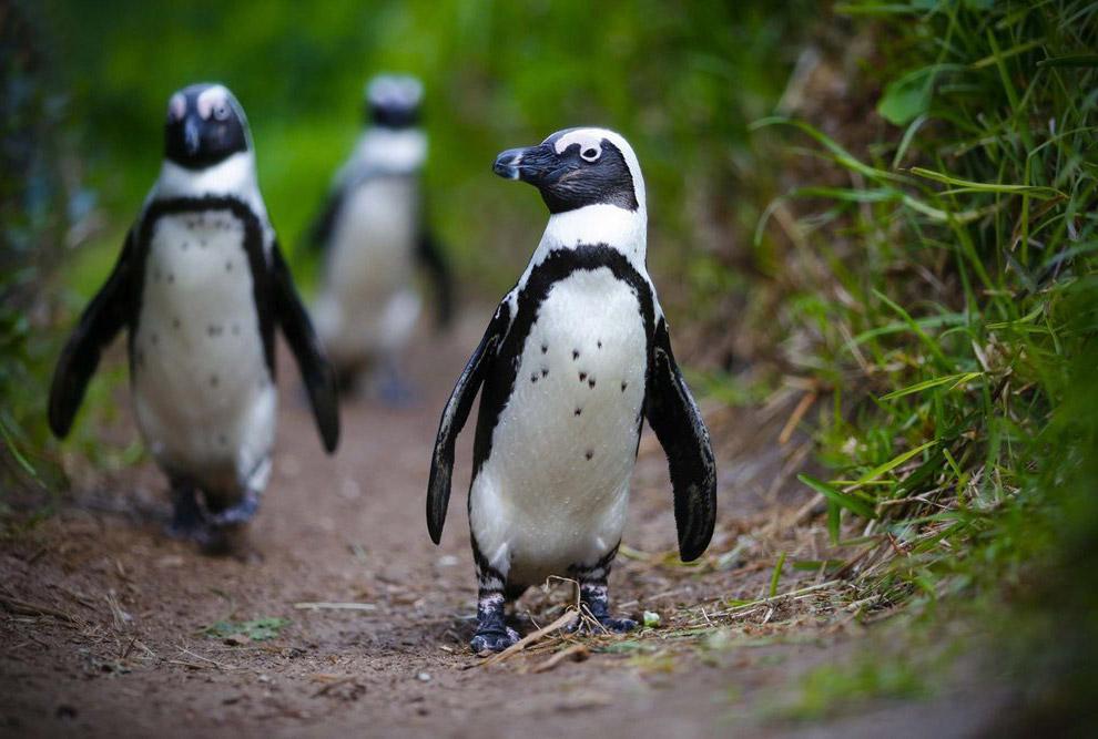 Африканские пингвины в Южной Африке