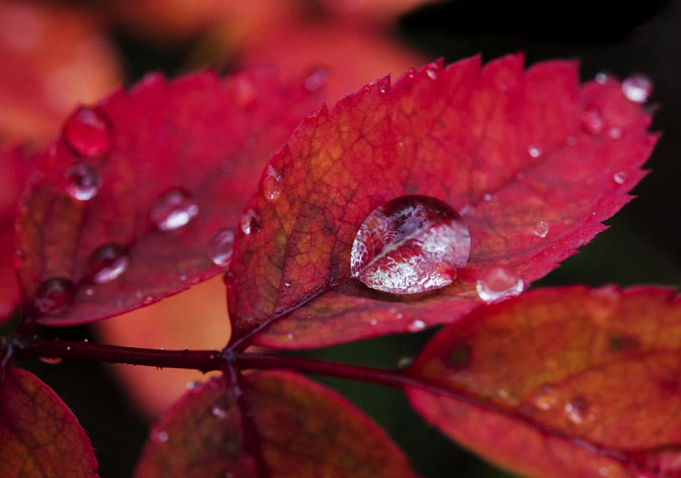 Капли воды на осенней листве