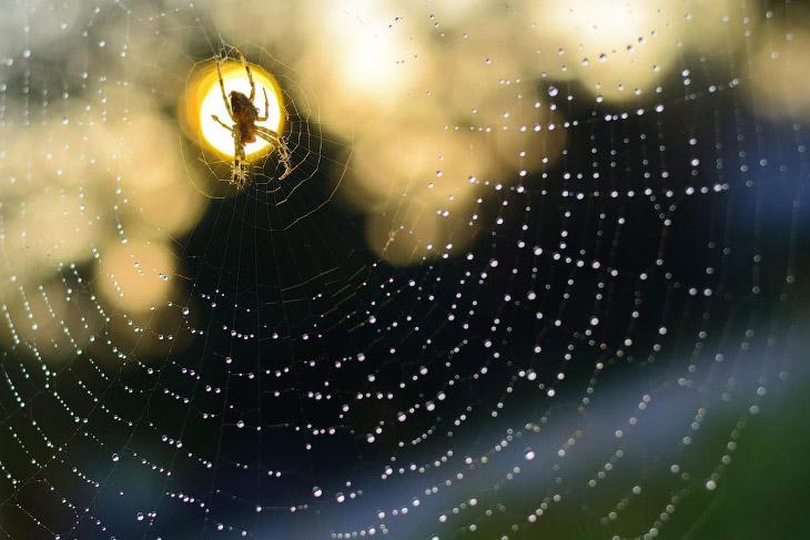 Паук на своей паутине, Венгрия