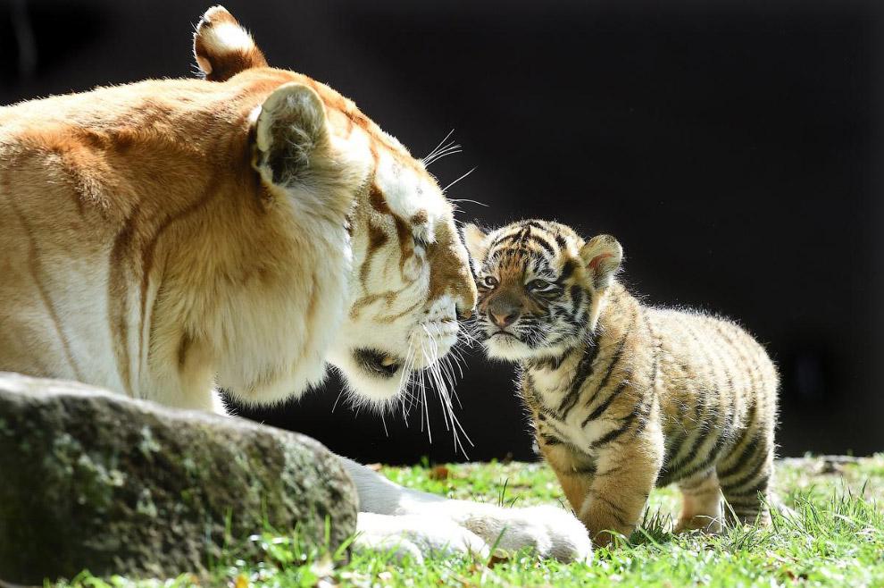 Тигриная семья, Австралия