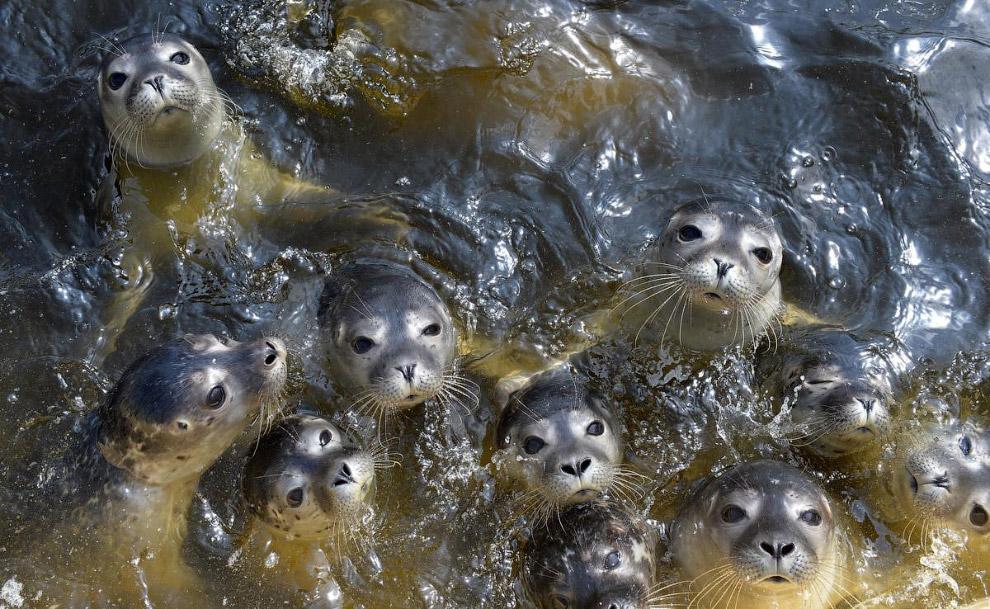 Группа тюленей в Норде, Германия
