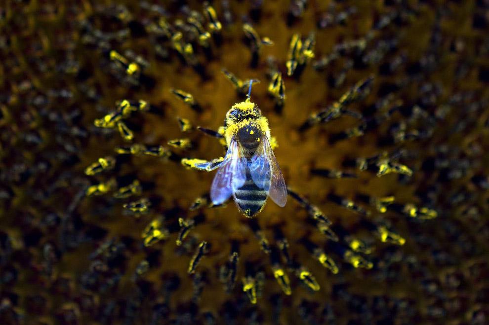 Пчела собирает пыльцу с подсолнечника в Дрездене