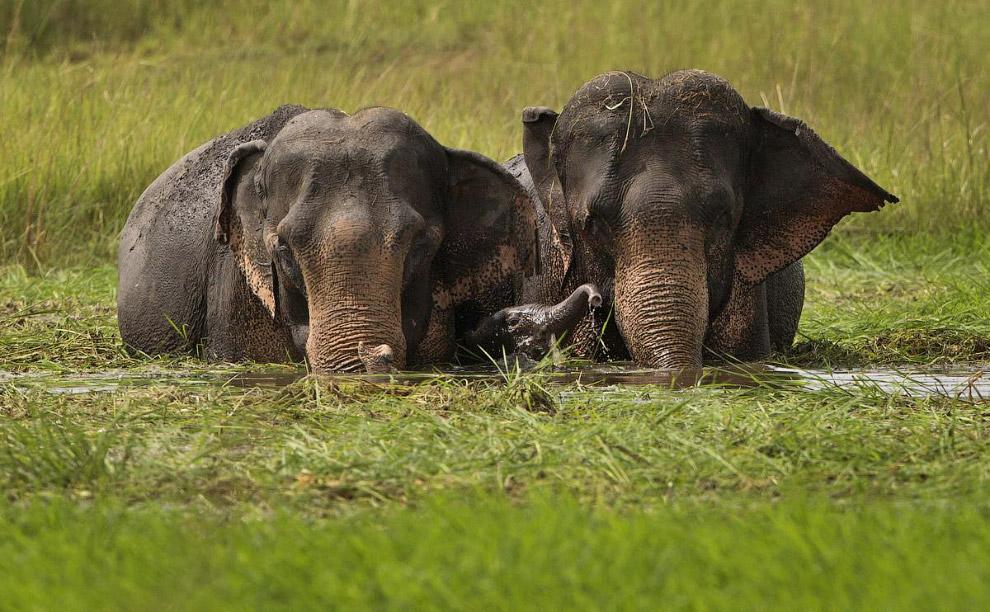 Семья слонов в штате Мегхалая на на востоке Индии
