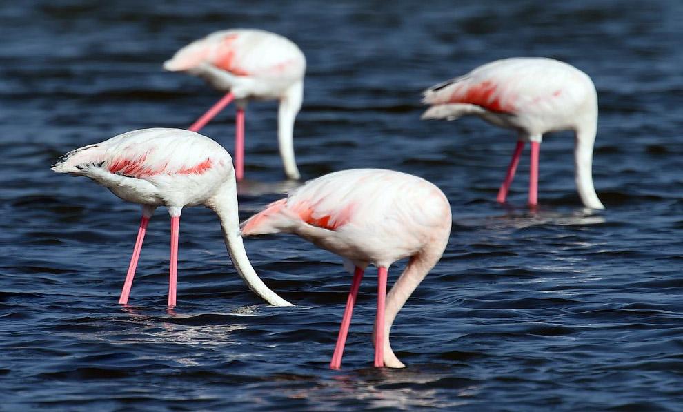 Розовые фламинго на юге Франции
