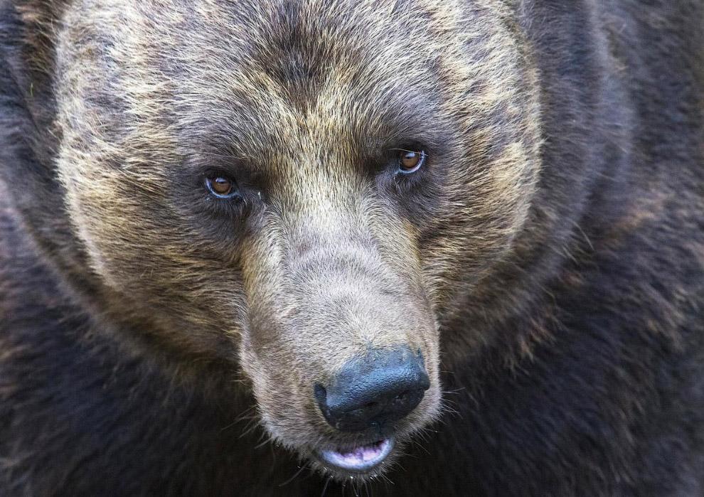 Бурый медведь в зоопарке в Бельгии