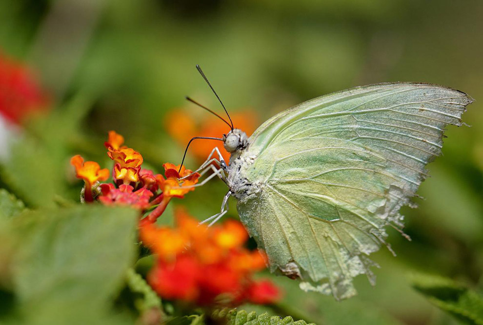 Бабочка Катопсилия помона