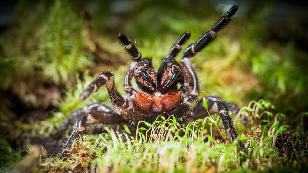 Австралийские ученые нашли, возможно, новый вид ядовитых пауков