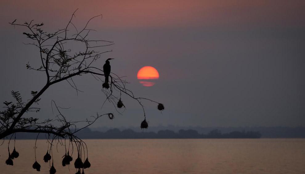 Баклан садится на дереве в Руанде