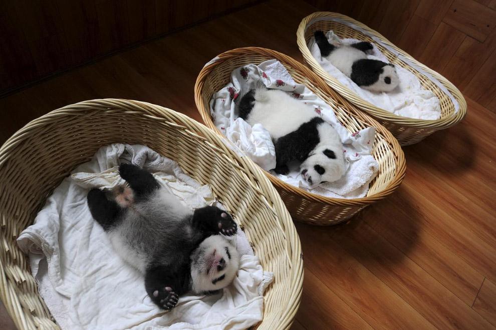 Панды в провинции Сычуань