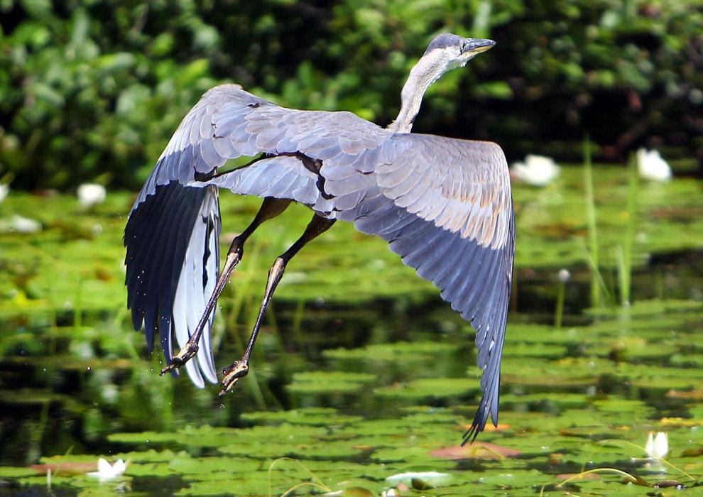 Синяя цапля взлетает с пруда с кувшинками