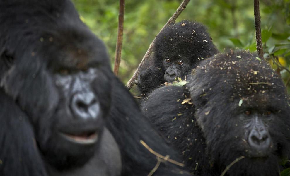 Семья горных горилл в Руанде