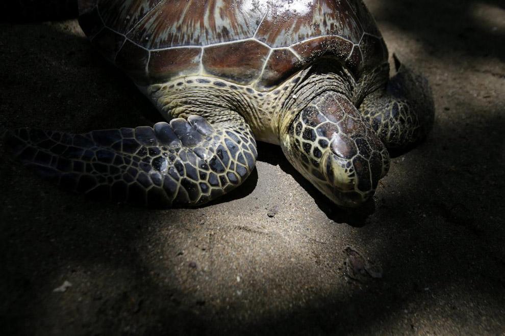 Морская черепаха на пляже в Куте, Бали, Индонезия