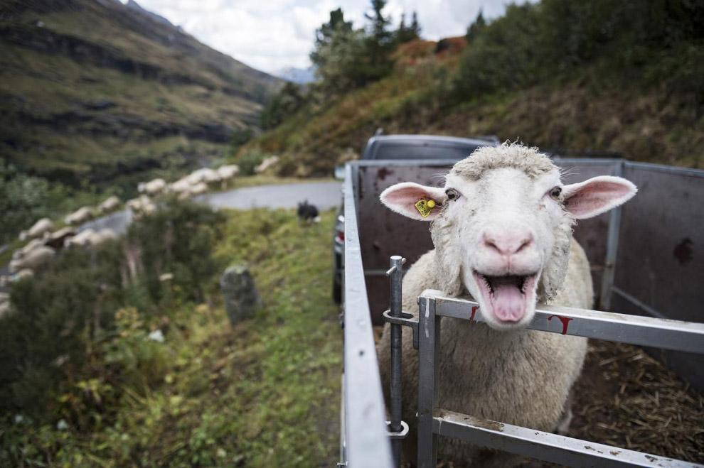Веселая поездка. овца в кузове прицепа в Швейцарии