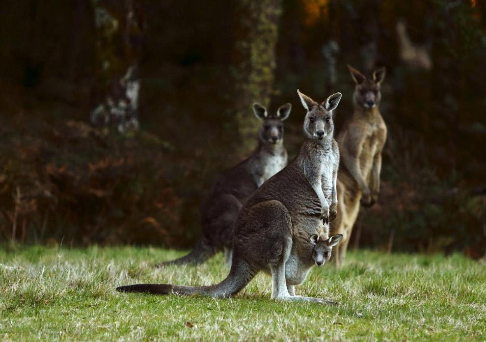 Кенгуру в Мельбурне, Австралия