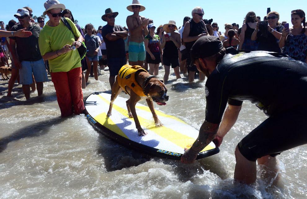 Собачий серфинг в Калифорнии