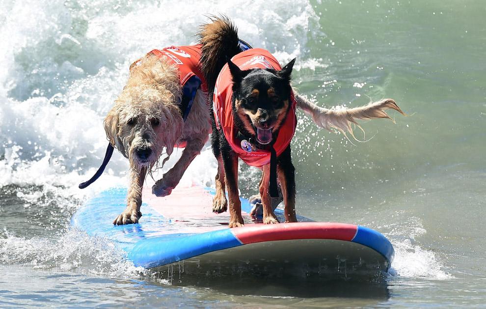 Собачий серфинг в Калифорнии на пляже Хантингтон-Бич