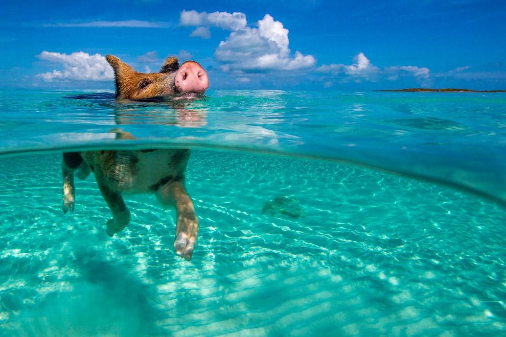 Свиньи на Багамах